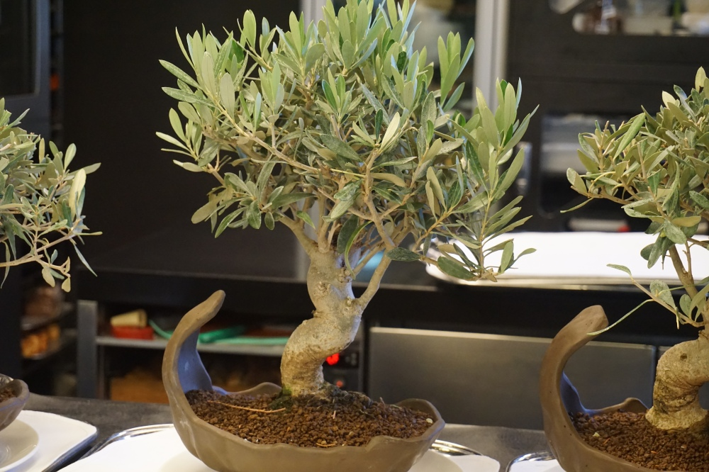 Olive Bonsai Trees